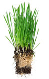Green grass. Young green grass with roots isolated on the white background Royalty Free Stock Images