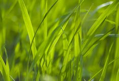 Green grass. Growing in a field Stock Photos
