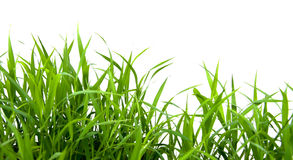 Green grass. Green grass isolated on white background Royalty Free Stock Photography