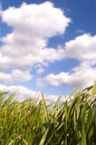 Green grass. Clouds over the green grass Stock Photography