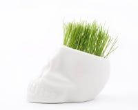 Green grass. In pot of skull on white stock images