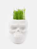 Green grass. In pot of skull on white royalty free stock photography