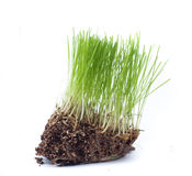 Green grass. With roots of closeup  on white Royalty Free Stock Images