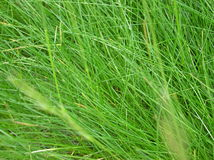 Green Grass. Stems of thick bright green grass growing in lawn or pasture royalty free stock photography