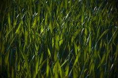 Green grass. In a dramatic light Royalty Free Stock Images