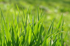 Green grass. Close-up of green grass Stock Photos