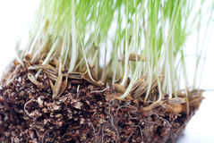 Green grass. With roots of closeup Royalty Free Stock Images