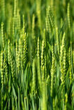 Green grass. Closeup of green grass growing.  Narrow depth of field Royalty Free Stock Images