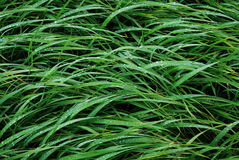 Green grass. With drop of water Stock Photo