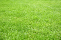 Green grass. Background texture straight Royalty Free Stock Image
