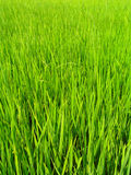 Green grass. Green and yellowish grass growing high Stock Photos