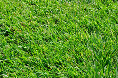 Green Grass. Closeup of a green grass field. Shallow depth of field. Focus is around the bottom of the image. Top is out of focus Royalty Free Stock Photography