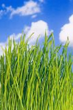 Green grass. And Blue Sky Royalty Free Stock Images