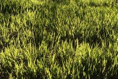 Green Grass. Field Stock Photo