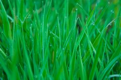 Green Grass. With Water Drops Royalty Free Stock Photos