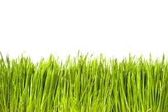Green Grass. With Water Drops isolated on white Stock Images