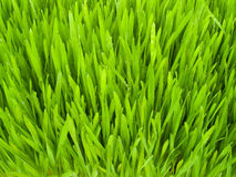 Green grass. Green, fresh spring grass grown from the seeds Royalty Free Stock Photography