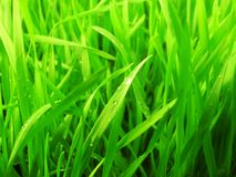 Green grass. Close-up of grass with dew drop. Outdoor background Royalty Free Stock Photos