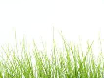 Green grass. On a white background royalty free stock photo