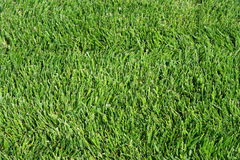 Green Grass. Close up of a fresh green grass Royalty Free Stock Images