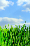 Green grass. Against sky background Royalty Free Stock Photos