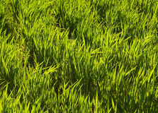 Green Grass. Closeup of field with translucid grass, with sunlight from behind Stock Images