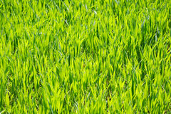 Free Green Grass Royalty Free Stock Photography - 5156787