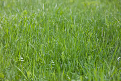 Green Grass. Meadow, close-up shot Royalty Free Stock Images