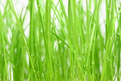 Green grass. Young green grass with morning dew on white background stock photography