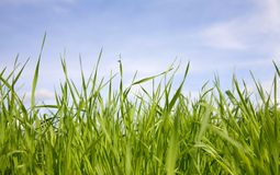 Green grass. Green juicy grass on a background of the sky royalty free stock image