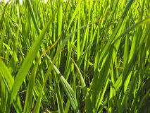 Green grass. With sunlight in summer Royalty Free Stock Image