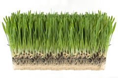 Green Grass. With the roots attached on a white background Stock Images