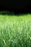 Green grass. On a black background royalty free stock photos
