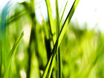 Green grass. Field of green grass as beautiful background Stock Image
