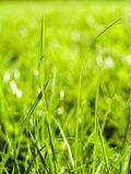 Green grass. Field of green grass as beautiful background Royalty Free Stock Image