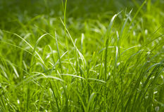 Green grass. Background at spring Royalty Free Stock Photos