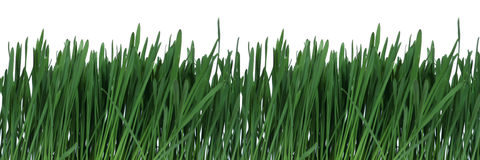 Green grass. Green gras over white Stock Image