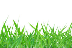 Green grass. A green grass on white background Stock Photos
