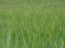 Green grass. Pure green grass Stock Images