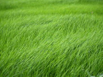 Green grass. Wind blowing on green grass Royalty Free Stock Photography