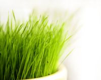 Green grass. Green fresh spring grass for easter table Stock Images