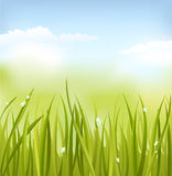 Green grass. Field of green grass in dew Stock Images