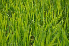Green grass. In sunlight counterlighted Royalty Free Stock Image