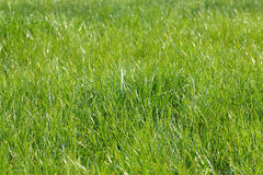 Green grass. Close up of the green grass for the background Royalty Free Stock Photography