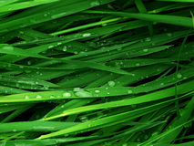 Green grass. Macro green grass background with water droplets Stock Photo