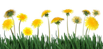 Green grass abd dandelions Royalty Free Stock Photo
