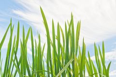 Green grass against the blue sky with �louds Royalty Free Stock Image