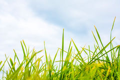 Green grass against blue sky close up in colour Royalty Free Stock Photography