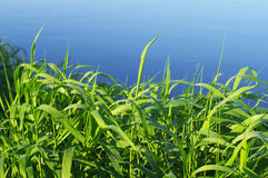 Green grass against blue water. Textural background of a bright green grass near the river Stock Photo