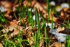 Green grass amid melting white snow in the warm midwinter sun stock images